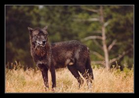 Black Wolf by CitizenOlek
