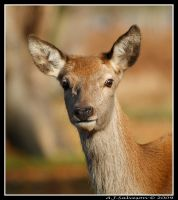 Young Red Deer Hind by andy-j-s