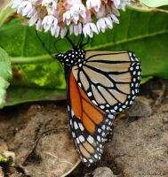 Monarch 2014 #2 by natureguy