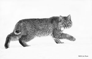 Bobcat on Snow 2 by Les-Piccolo