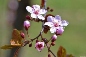 More Blossoms by WickedOwl514