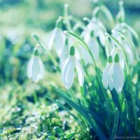 Snowdrops by Janine-Autumn