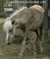 Miniature Horse 2 by stockhorse