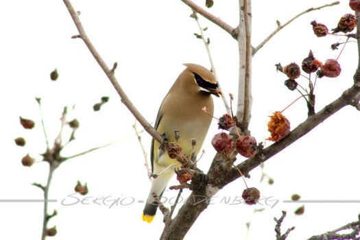 Cedar Waxwing by Assinmypants