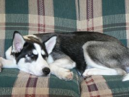 my uncle husky puppie by butterflywoman04