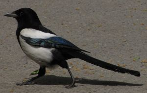 European Magpie 03 by animalphotos