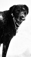 Portrait of a Snow Lab by VisualModality