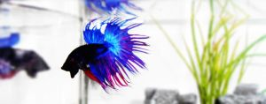 Betta by Alexis993