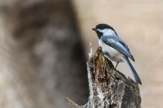 Black Capped Chickadee by Kintarotpc