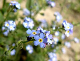 blue forget-me by andi40