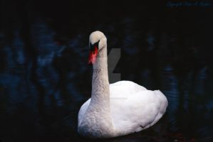 Portrait of a Swan by peterkopher
