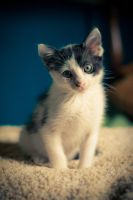 Black and White Kitten by ExcidiumGT