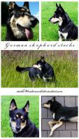 a German shepherd by stocksWonderworld