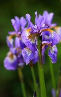 Lilac irises by whimsicalworks