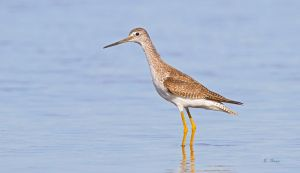 Greater Yellow Legs by Grouper