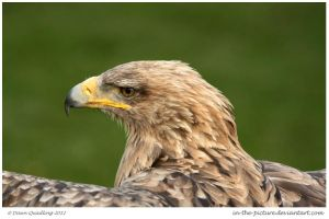 Proud Tawny Eagle by In-the-picture