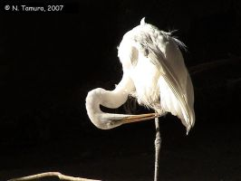 Great Egret by NTamura