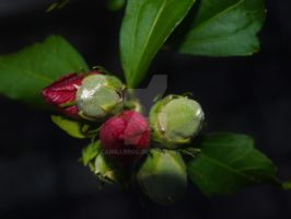 Boutonfleur by camilleroc