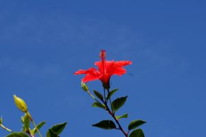 Hibiscus II by expression-stock