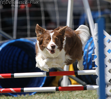 AKC Agility Trial 14 by Deliquesce-Flux
