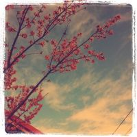 Blossoms by Xevik