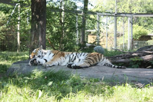Tiger 2 by beyonce03