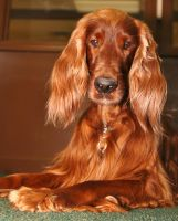 Irish Setter by clippercarrillo