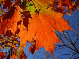 Autumn Maple Leaf by Pentacle5