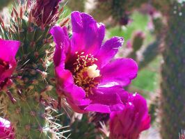 cactus flower by cello--blood