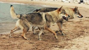 low vs mid content WOLFDOG by tribandejoyce