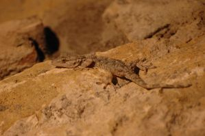Gecko by lcocolao