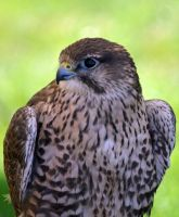 Kestrel by becksbeck