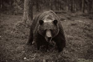 European Brown Bear by willbl