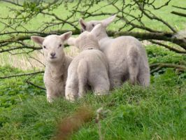 3 Lambs by friartuck40