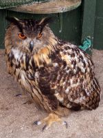 Eagle Owl by powder-monkey