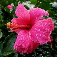 Hibiscus ~ After the Rain by melsofmaui