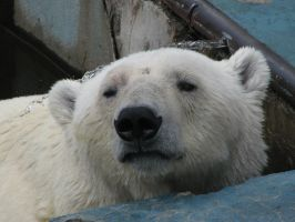Stock: Polar bear head Close-Up by Think-Outside-Of-Box