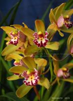 Orchid Show 2015 no.22 by Foozma73