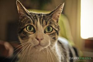 Eyed cat by davidtolosa