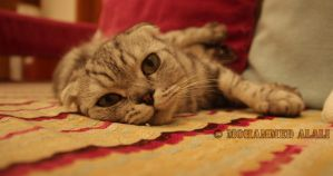 Scottish Fold Bored by MohdAlAli