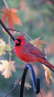 Northern Cardinal in Autumn by daughterdragon