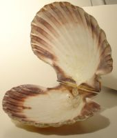 Scallop - 14 by LunaNYXstock