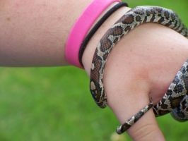 Milk Snake Pic 5 by LeviSei