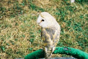 Bird 11 -barn owl- by Catt22489