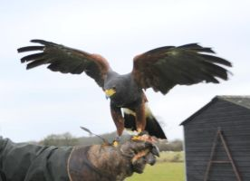 Harris Hawk Stock 20 by LRG-Photography
