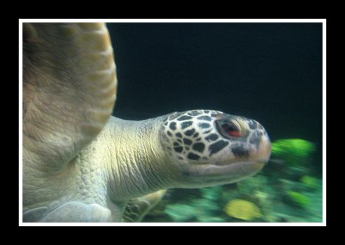 Sea Turtle in Motion by kimayame