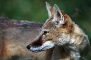 Corsac Fox Profile by robbobert