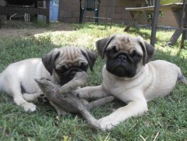 Pug puppy my toys by RaiStone
