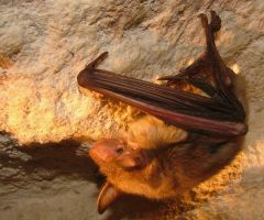 Lesser Mouse-eared bat by Faunamelitensis