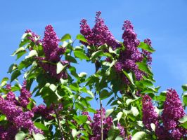 deep purple lilacs. by crazygardener